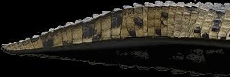 Decoración colita lagarto